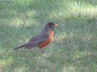 A robin on my lawn.