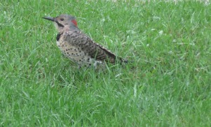 Flicker on my lawn.
