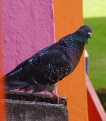 A pigeon in Mexico