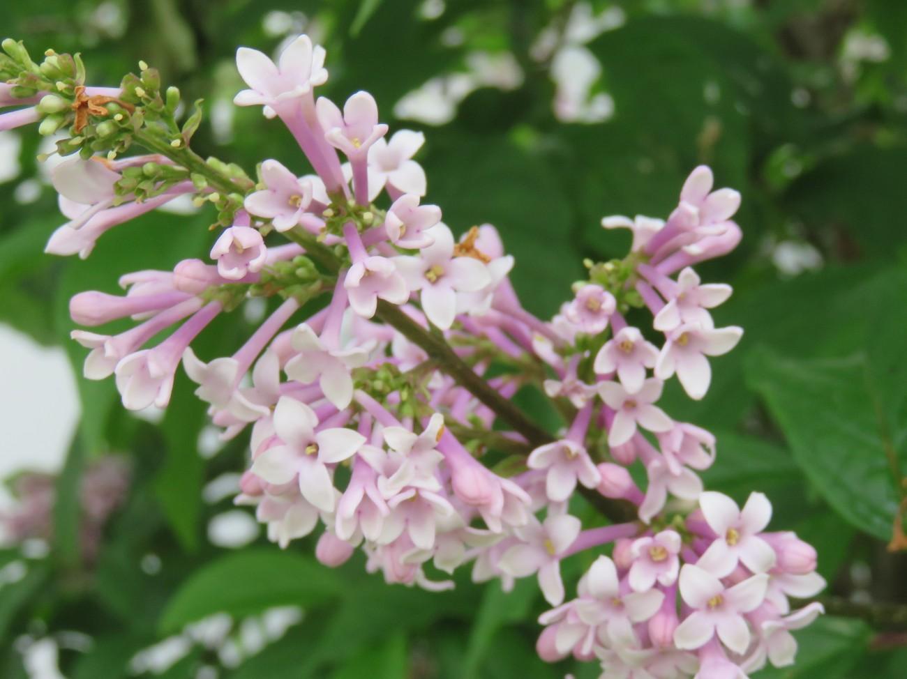 Closeup lilac