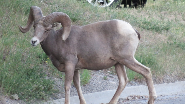 A bighorn sheep in that mountain town.