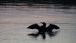 A loon on Anglin Lake, Saskatchewan. Photo credit Dale Clark