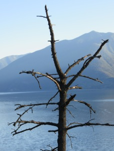 Lone tree against Kootenay Lake, BC