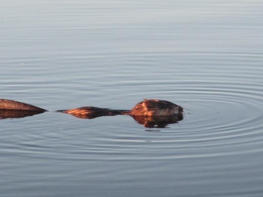 Muskrat on Shorncliffe Lake, Alberta